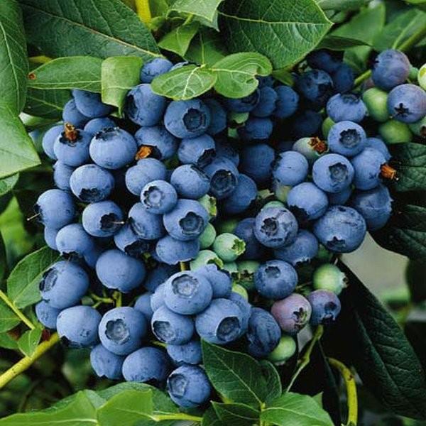 Сладкие ароматные плоды голубики сорта Чиппева