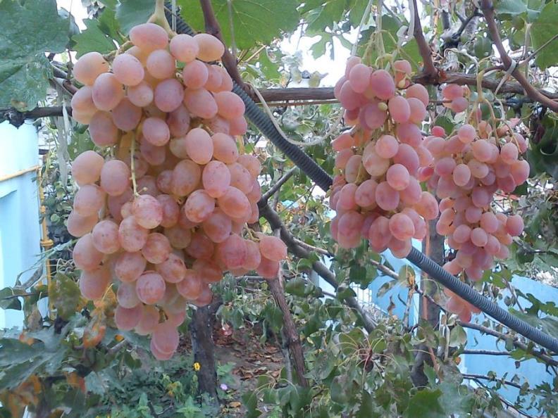 Сочные гроздья розового винограда Тайфи