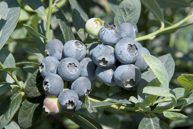 Сорт голубики Бригитта Блу с хорошо транспортабельными плодами