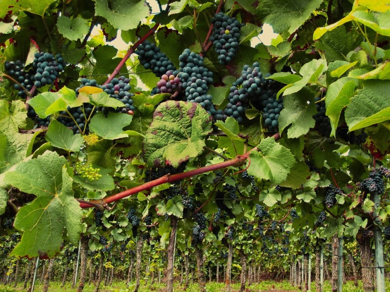 Сорт винограда Пино Нуар для приготовления изысканных вин