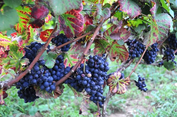 Сорт винограда Пино Нуар - особенности строения и цвета листьев
