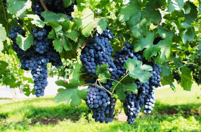 Сорт винограда Пино Нуар - уход за культурой