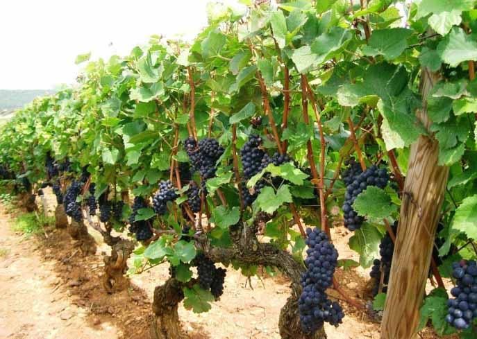 Среднерослый сорт винограда Пино Нуар - особенности культивации
