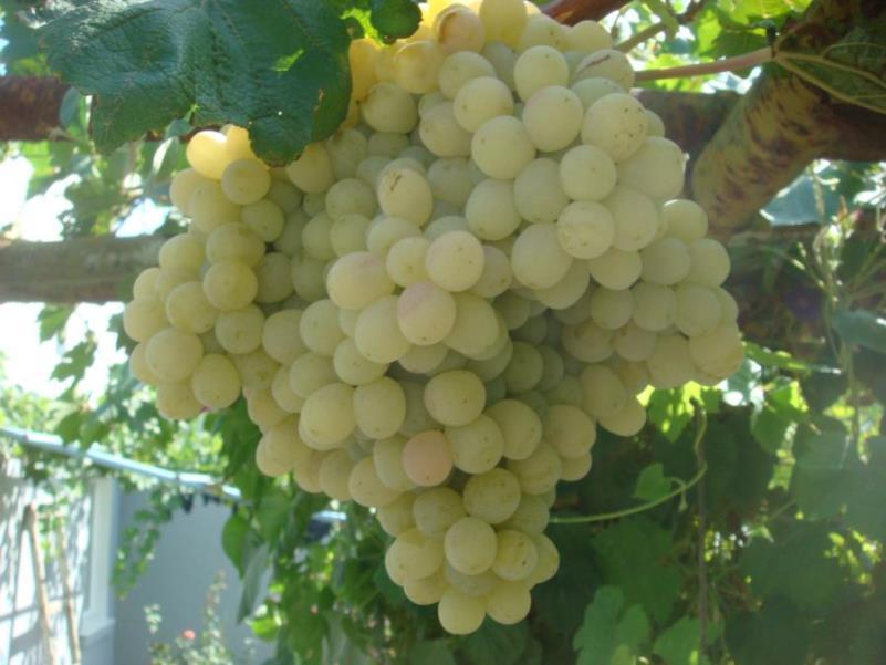 Виноград Тайфи - белый сорт культуры