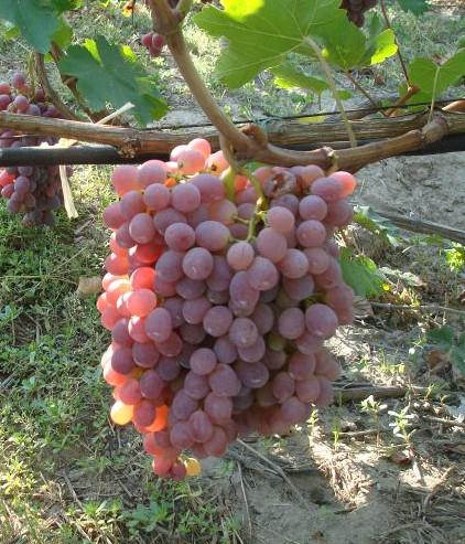 Виноград Тайфи - как вырастить культуру в собственном саду