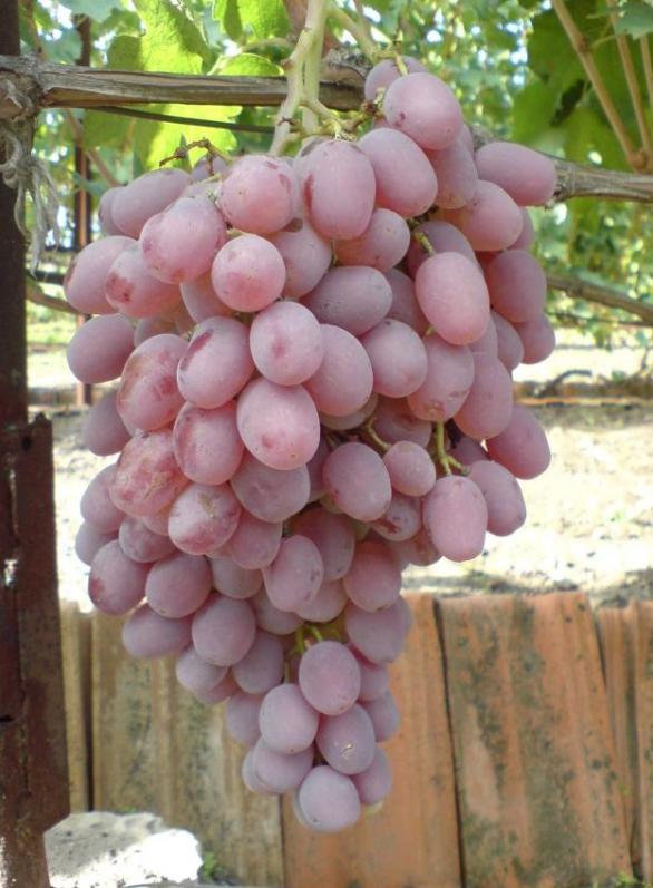 Виноград Тайфи - основные правила ухода за культурой