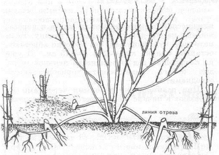 Войлочная вишня посадка и уход за растением