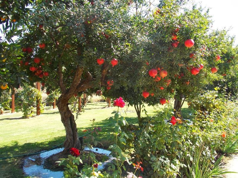 Взрослое гранатовое дерево