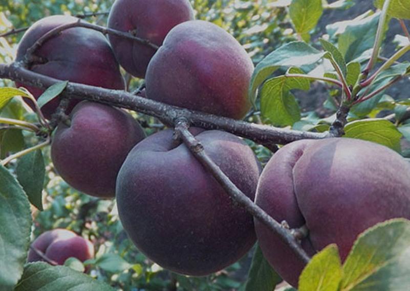 Абрикос черный бархат - особенности плодов