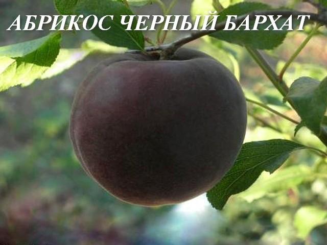 Абрикос черный бархат - отзывы садоводов