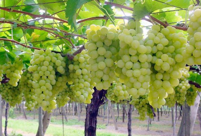 Агротехнические характеристики винограда Супер Экстра