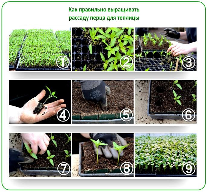 Болгарский перец выращивание и уход - что нужно знать о культивации рассады