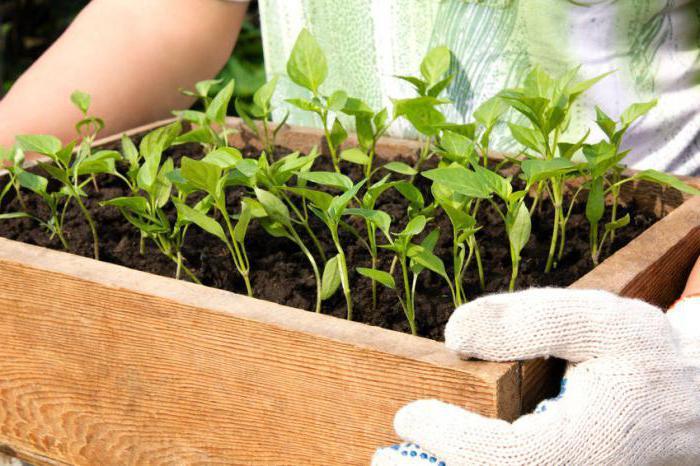Болгарский перец выращивание и уход - как уберечь молодую рассаду перца от вредителей и болезней