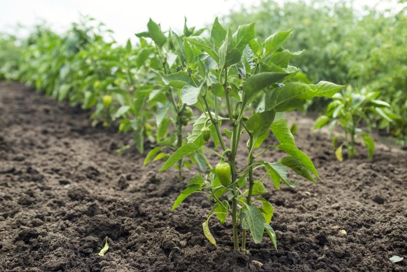 Болгарский перец выращивание и уход - методика пересадки в грунт
