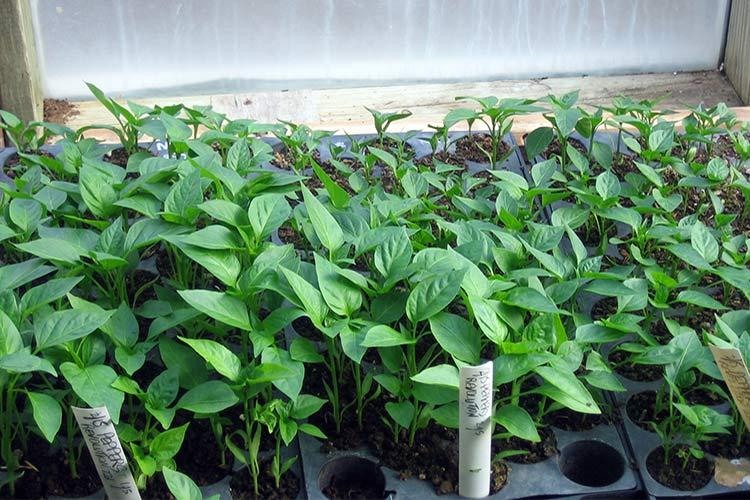 Болгарский перец выращивание и уход - особенности перцев для теплиц