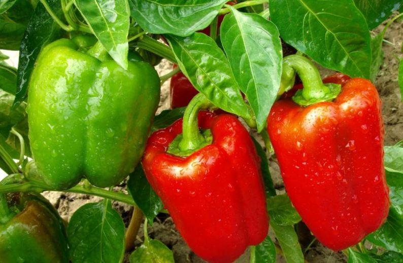 Болгарский перец выращивание и уход - схема посадки овоща