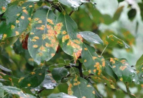 Чем лечить коккомикоз вишни - советы садоводам