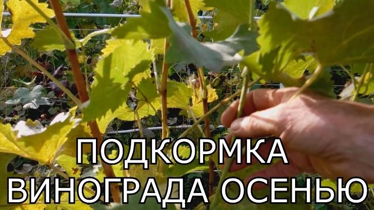 Чем подкормить виноградный куст осенью