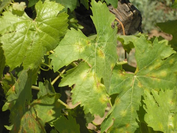 Чем вызвано появление светлых пятен на виноградных листьях