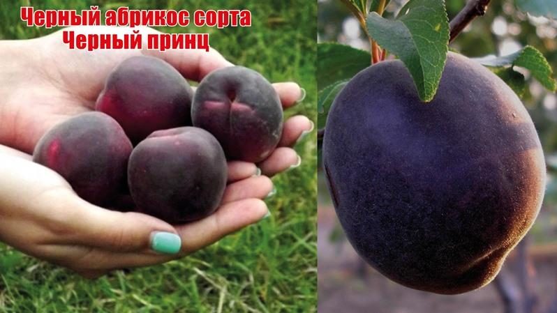 Черный абрикос Черный принц - описание сорта