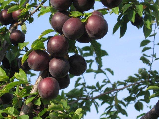 Черный абрикос Черный принц - оригинальные вкусовые качества гибрида