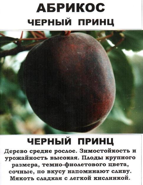 Черный абрикос Черный принц - основные характеристики фруктового дерева