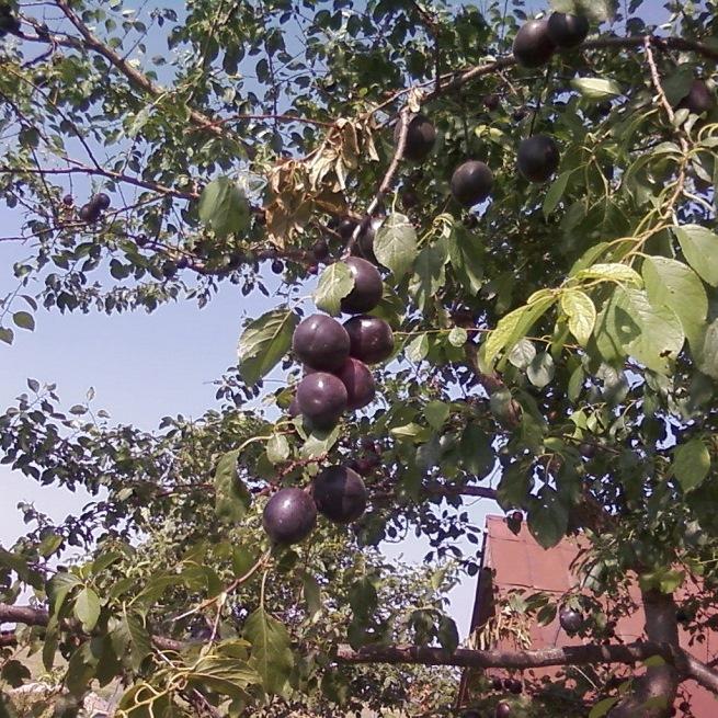 Черный абрикос Черный принц - особенности ухода за экзотическим сортом