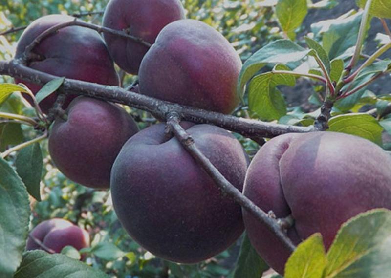 Черный абрикос Черный принц - устойчивый сорт абрикосоалычи