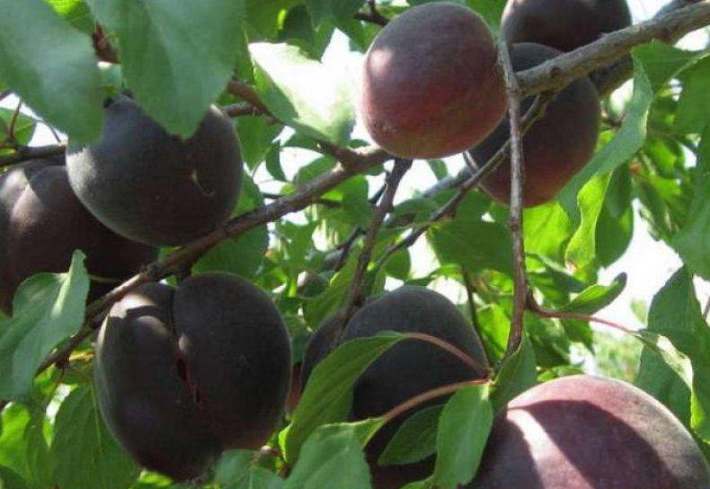 Черный абрикос Черный принц - выращивание и уход