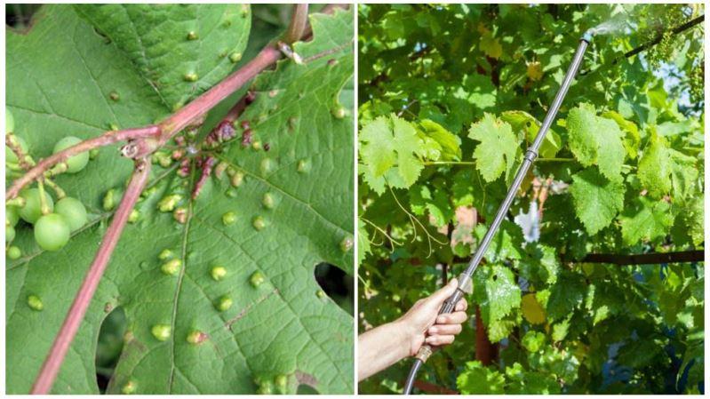 Использование химического способа для борьбы с паутинным клещом на винограде