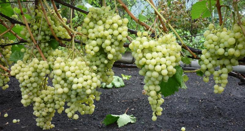 Как культивировать виноград Супер Экстра на садовом участке