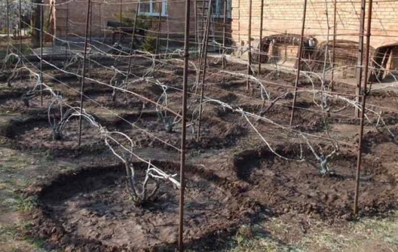 Как пересадить виноград - пошаговый алгоритм процедуры