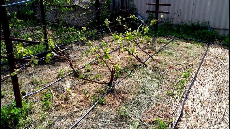 Как пересадить виноград - уход за кустарником после пересадки