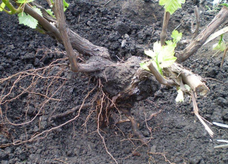 Как пересадить взрослый виноград и не повредить корень растения