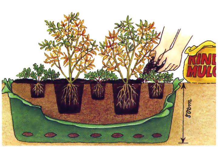 Как правильно высаживать черенки голубики осенью в грунт