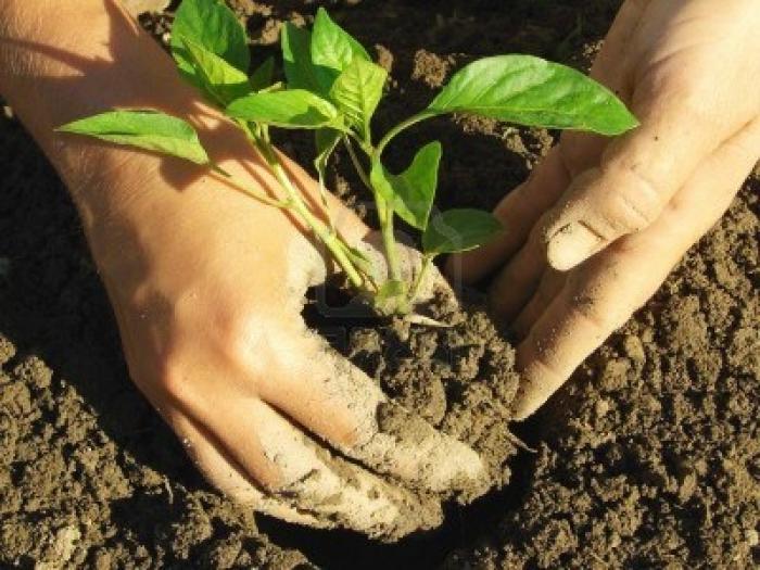 Как правильно высаживать рассаду болгарсого перца в открытый грунт - подготовительные работы