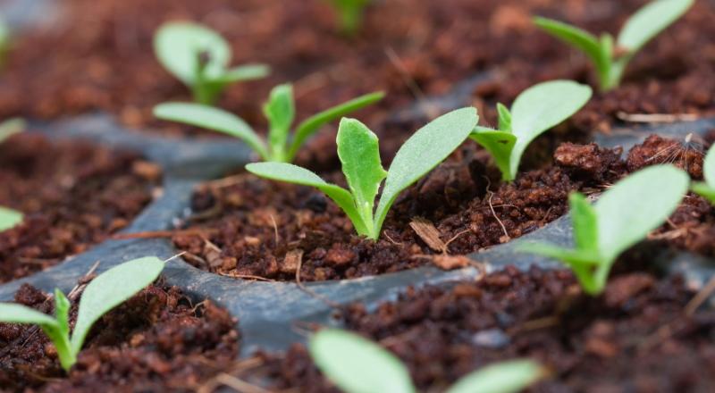 Как прорастить семена винограда