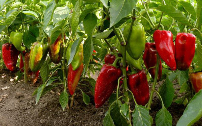 Как создать оптимальные условия для выращивания болгарского перца на дачном участке