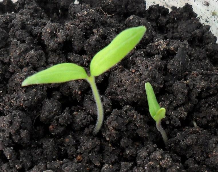 Как вырастить крепкую рассаду томатов Вельможа