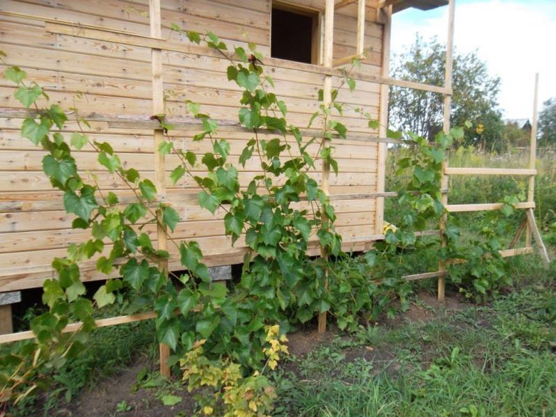 Когда сажать виноград - определяем оптимальное время для посадки