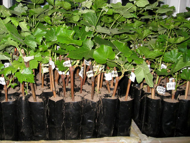 Когда сажать виноград - преимущества весенней посадки саженцев