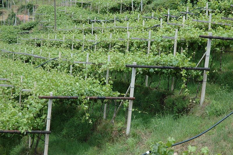 Когда сажать виноград - советы начинающему дачнику