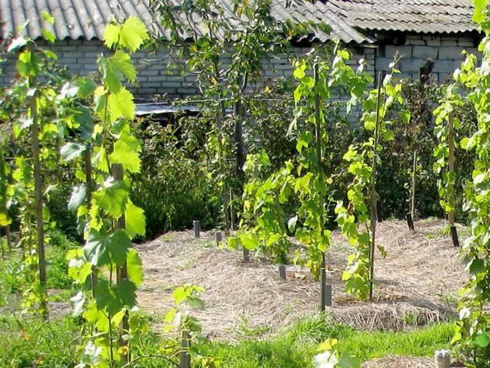 Когда сажать виноград - влияние возбудителей болезней и вредителей на росток в разные сезоны