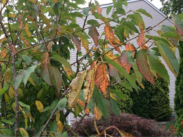 Коккомикоз вишни - основные признаки заболевания