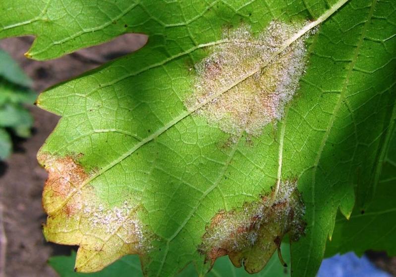 Коричневатые пятна с белым налетом на нижней стороне виноградного листа - как бороться