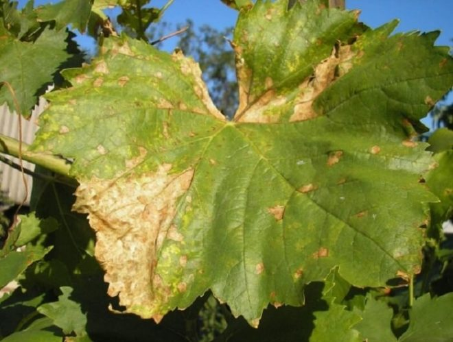Коричневые сухие пятна на листьях винограда
