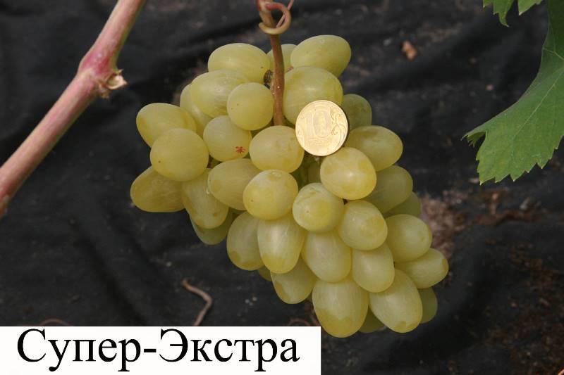 Крупные ягоды винограда сорта Супер Экстра