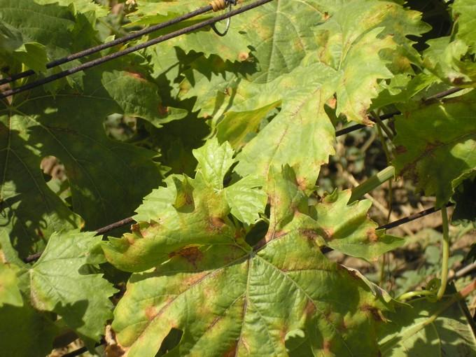 Листья винограда покрылись коричневыми пятнами - как бороться с милдью