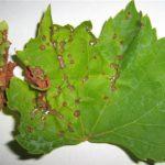 Листья винограда покрылись коричневыми пятнами