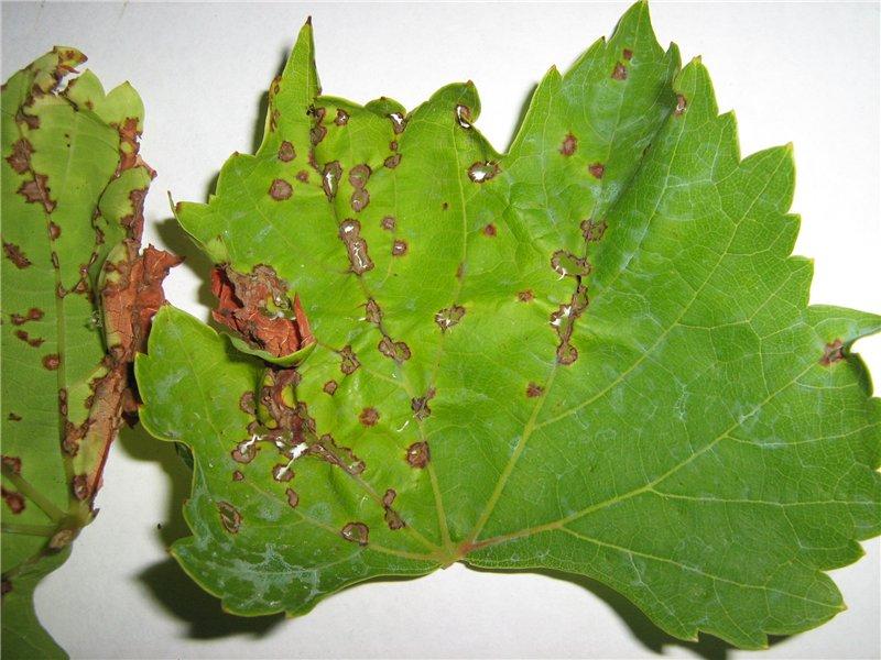 Листья винограда покрылись коричневыми пятнами - как устранить проблему